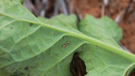 Beet western yellows virus found on Eyre Peninsula | Virology News | Scoop.it