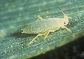 Narrowing the search for greenbug (aphids)  resistance in wheat | Animal Sciences | Scoop.it