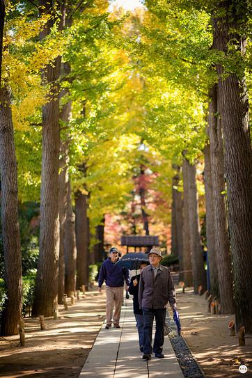Walking Under the Ginkgo Trees | Arboriculture | Scoop.it