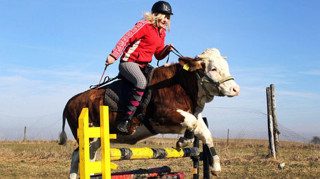 The Secret Lives Of Cows: Jumping For Joy | Ride On | Scoop.it