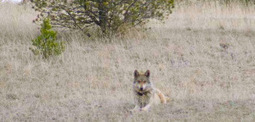 Two Mexican gray wolves die during 'count and capture' operation | Farming, Forests, Water & Fishing (No Petroleum Added) | Scoop.it