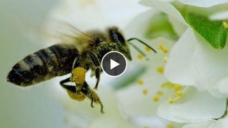 Abeille : en Chine, des hommes font le travail des pollinisateurs disparus | Société durable | Scoop.it
