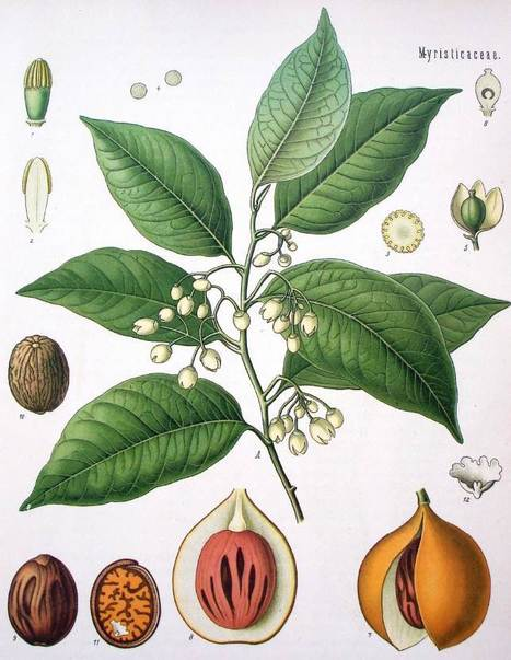 From mouth fresheners to erotic perfumes: The evolving socio-cultural significance of nutmeg, mace and cloves in South Asia | Zumbroich | eJIM - eJournal of Indian Medicine | Indian Ocean Archaeology | Scoop.it