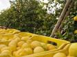 Un limone al giorno toglie il calcolo di torno   myfruit - km0 e consegne a domicilio di frutta e verdura   Scoop.it