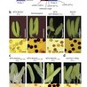 A detrimental mitochondrial-nuclear interaction causes cytoplasmic male sterility in rice