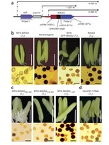 A detrimental mitochondrial-nuclear interaction causes cytoplasmic male sterility in rice- Nature Genetics | A detrimental mitochondrial-nuclear interaction causes cytoplasmic male sterility in rice | Scoop.it