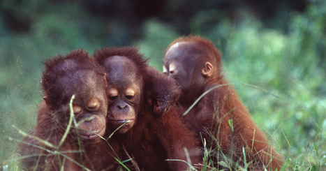 Heartbreaking news: the Bornean #Orangutans are now on the very brink of #extinction. | Messenger for mother Earth | Scoop.it