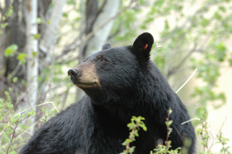 7th Bear--Including An Adult Female Bear--Killed After Woman Bitten in Florida | Garry Rogers Nature Conservation News (#EcoSciFi) | Scoop.it