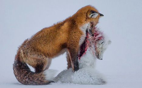 'A Tale of Two Foxes' Wins Wildlife Photographer of the Year 2015 | Photography News Journal | Scoop.it