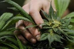 Colorado Springs City Council divided about adding marijuana question to ... - Colorado Springs Gazette | Colorado Marijuana (Recreational and Medical) | Scoop.it