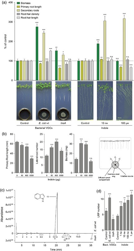 The inter-kingdom volatile signal indole promotes root development by interfering with auxin signalling | Plant growth-promoting actions | Scoop.it