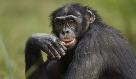Why Some Chimps Are Smarter Than Others | Metaglossia: The Translation World | Scoop.it