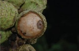 New species of Oak hidden away in the greenery of Ton Pariwat Wildlife Sanctuary | #TreeNews | Scoop.it
