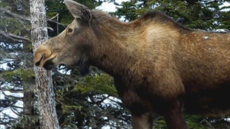Moose sex corridor project touted   Nova Scotia Hunting   Scoop.it