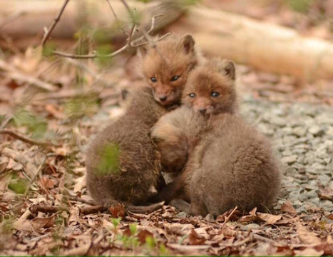 Father and Daughter Find Adorable Baby Foxes in Their Backyard | Le It e Amo ✪ | Scoop.it