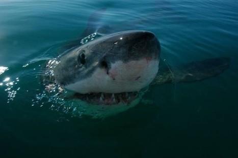 Inesperadas similitudes genéticas entre el Gran Tiburón Blanco y el Ser Humano — | La célula | Scoop.it