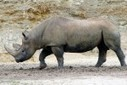 Africa's Western Black Rhino is Now Officially Extinct | Zoology | Scoop.it