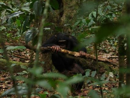 Chimpanzees select nut-cracking tools taking account of up to five different factors | animals and prosocial capacities | Scoop.it
