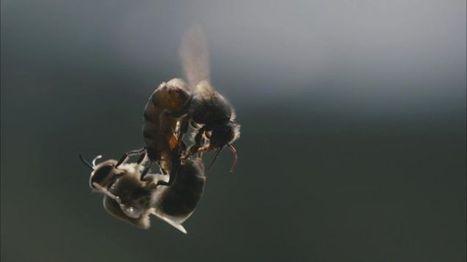 L'Europe en grave déficit d'abeilles pour polliniser ses cultures   Le Cheval aujourd'hui, l'énergie verte, l'éco-responsabilité   Scoop.it