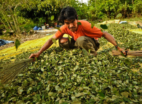 Bolivia Reduces Coca Plantings by Licensing Growers | Alcohol & other drug issues in the media | Scoop.it