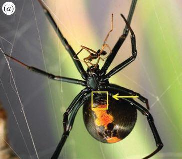 Le mâle veuve noire préfère les jeunes femelles... pour survivre | EntomoNews | Scoop.it
