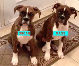 "LOST DOGS: 640 Montague Rd., Montague Gold Mines, Halifax Co., NS — Boxers, Male/Female, 6 months — ""Oscar and Mags"" 