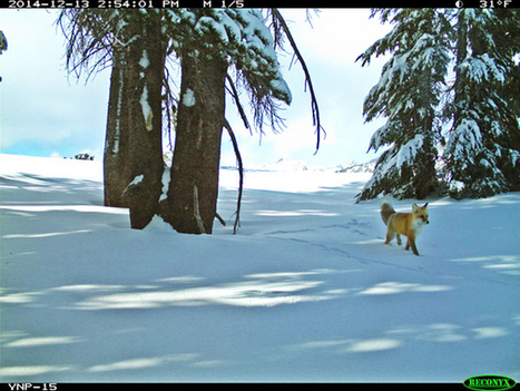 Super-rare carnivore photographed in Yosemite after missing for nearly a century | Endangered Wildlife | Scoop.it
