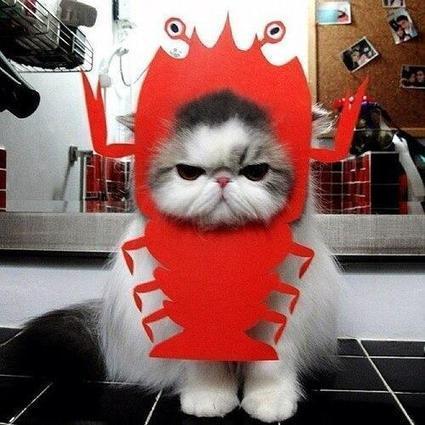 Twitter / Cats: I am Lobster Cat. ...   Animals I like   Scoop.it
