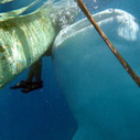 Lessons from Donsol: What other towns can learn about whale sharks | Earth Island Institute Philippines | Scoop.it