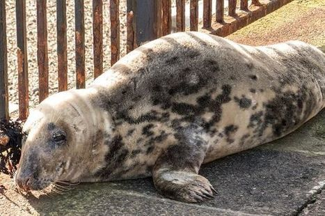 Injured seal at Cullercoats sparks rescue operation after it washes up on ramp   Oceans and Wildlife   Scoop.it