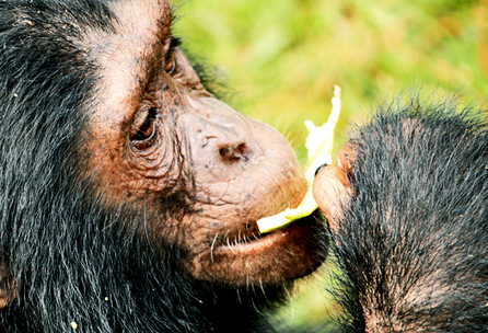 Chimps know it's not what you eat, but when | Social Foraging | Scoop.it