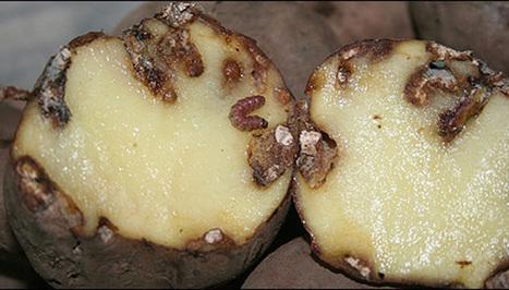 Tecia solanivora detected in Galicia (ES) | Pest Alerts | Scoop.it