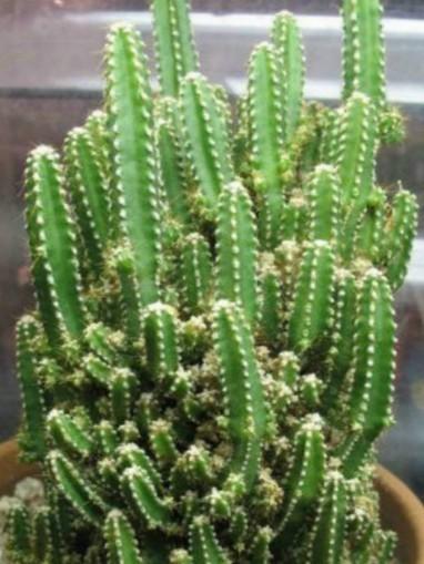 Acanthocereus tetragonus 'Fairy Castles' – Fairy Castle Cactus   World of Succulents   Cacti (Cactus)   Scoop.it