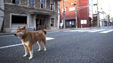 [Eng] Les animaux perdus de Fukushima | Gizmodo | Japon : séisme, tsunami & conséquences | Scoop.it