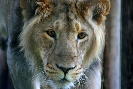 Why Is This Zoo Giving Acupuncture to a Lion? | Strange days indeed... | Scoop.it