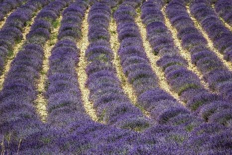 Purple and Green: Across the Lavender Fields in Provence | Lavender | Scoop.it