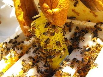 Déclin des abeilles : l'effet conjugué pesticide-parasite affecte aussi la survie des reines   Toxique, soyons vigilant !   Scoop.it