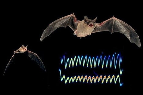 Bat-inspired Sonar Device Aids the Visually Impaired   Biomimicry   Scoop.it