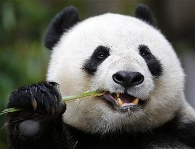 Bamboo-munching giant panda also has a sweet tooth | enjoy yourself | Scoop.it