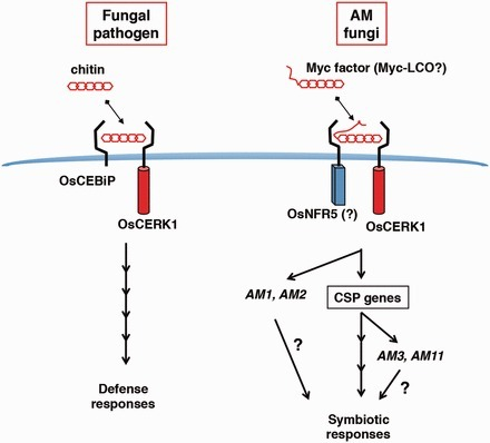The Bifunctional Plant Receptor, OsCERK1, Regulates Both Chitin-Triggered Immunity and Arbuscular Mycorrhizal Symbiosis in Rice | PlantBioInnovation | Scoop.it