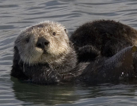 Sea otters can get the flu, too | Aquatic Vet News You-can-Use | Scoop.it