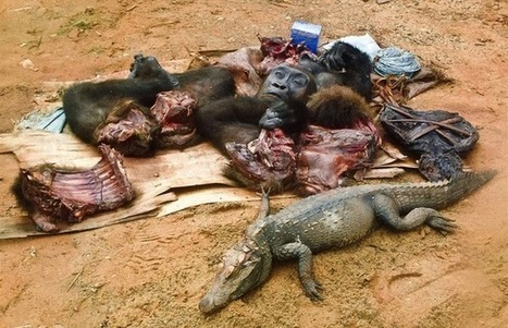 Bush Meat Trade threatens hundreds of Species with Extinction | Endangered Species News | Scoop.it