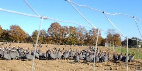 Grippe aviaire : en plein vide sanitaire, un nouveau foyer identifié dans le Tarn   Agriculture en Dordogne   Scoop.it