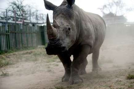 Growing numbers of rhinos poached for horns in South Africa: minister | Sustain Our Earth | Scoop.it