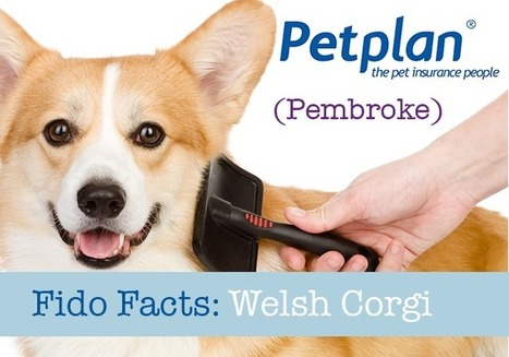 Fido Facts: Welsh Corgi (Pembroke) | Petplan Blog | Pet Insurance | Scoop.it