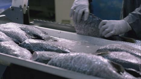 Fish Processing - NAQUA Processing Plant | National Aquaculture Group (NAQUA) | Scoop.it