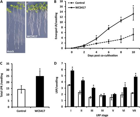 Plant Phys: Unraveling root developmental programs initiated by beneficial Pseudomonas spp. bacteria | Plant-Microbe | Scoop.it