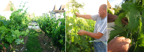 Few people know this, but vineyards are teeming with unpleasant things..... | Le Vin et + encore | Scoop.it