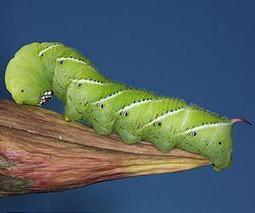 Modern caterpillars feed at higher temperatures in response to climate change | Sustain Our Earth | Scoop.it