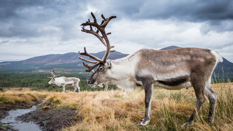 Reindeer populations are in decline (even in the North Pole) | FCHS AP HUMAN GEOGRAPHY | Scoop.it